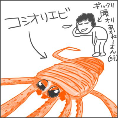 161123コシオリエビ.jpg