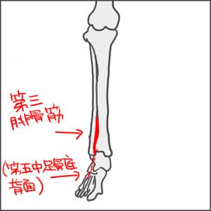 第三腓骨筋_edited-1.jpg