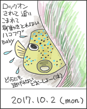 171002ハコフグ幼魚.jpg